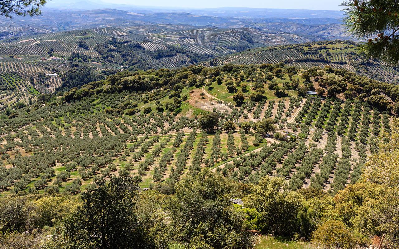 Mar de olivos y aceitunas